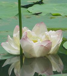 24 - 101270 - lotus unfolding -