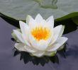 23 - 101169 - White Lotus -